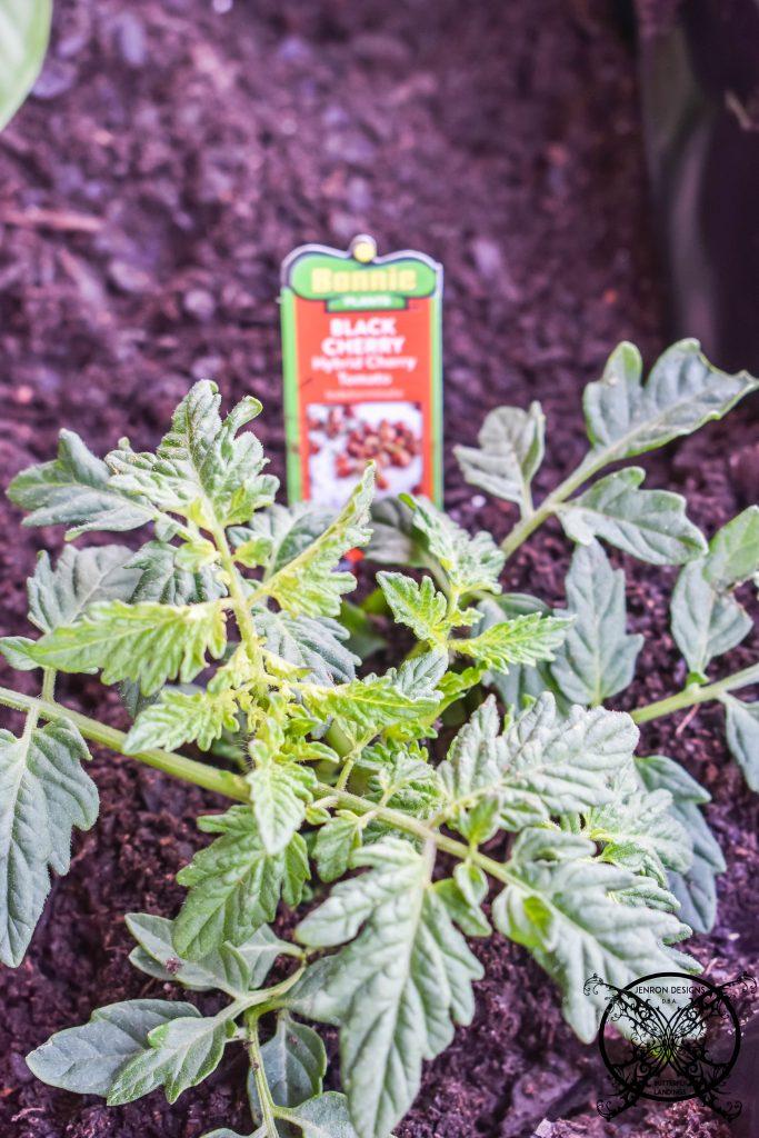 Wheelbarrow Garden tomatoes JENRON DESIGNS