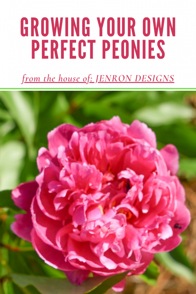 Growing Perfect Peonies at Home JENRON DESIGNS