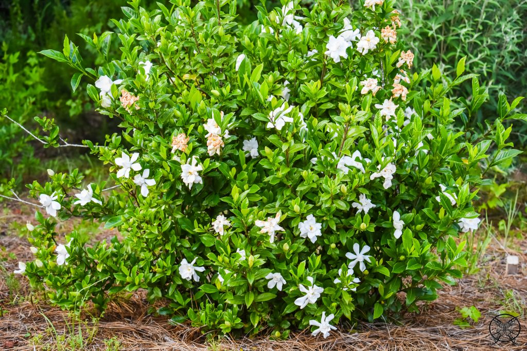 Gardenia Bush JENRON DESIGNS