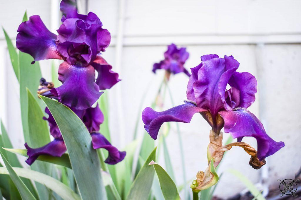 Iris Bulbs Jenron Designs