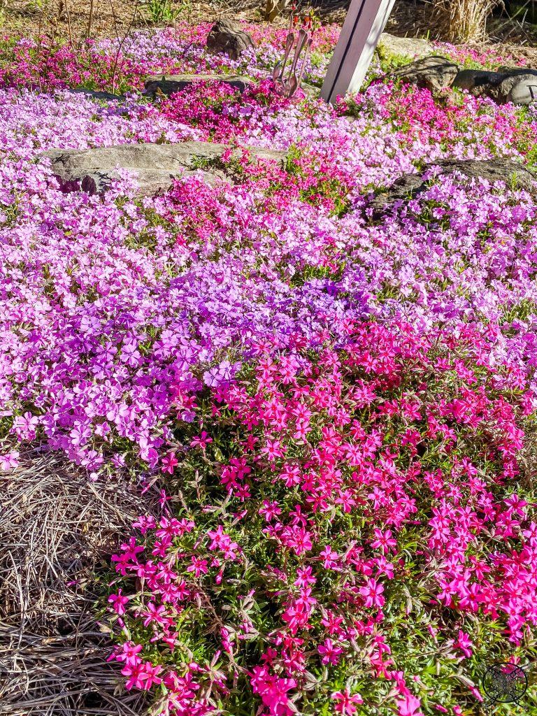 Phlox Rock Garden JENRON Designs