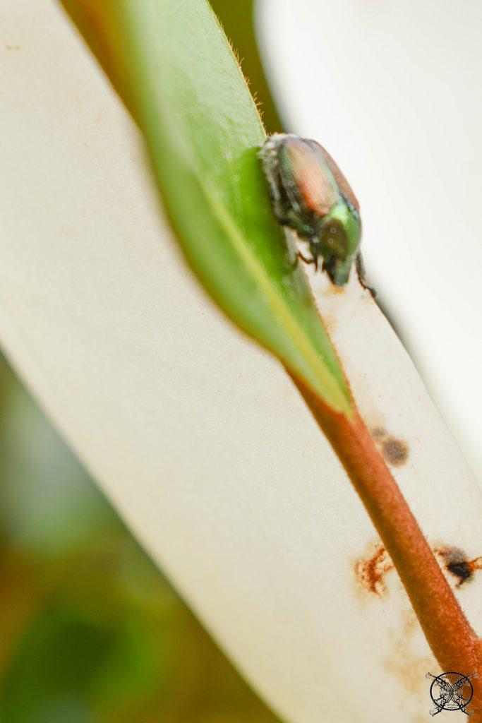 Japanese Beetles JENRON DESIGNS