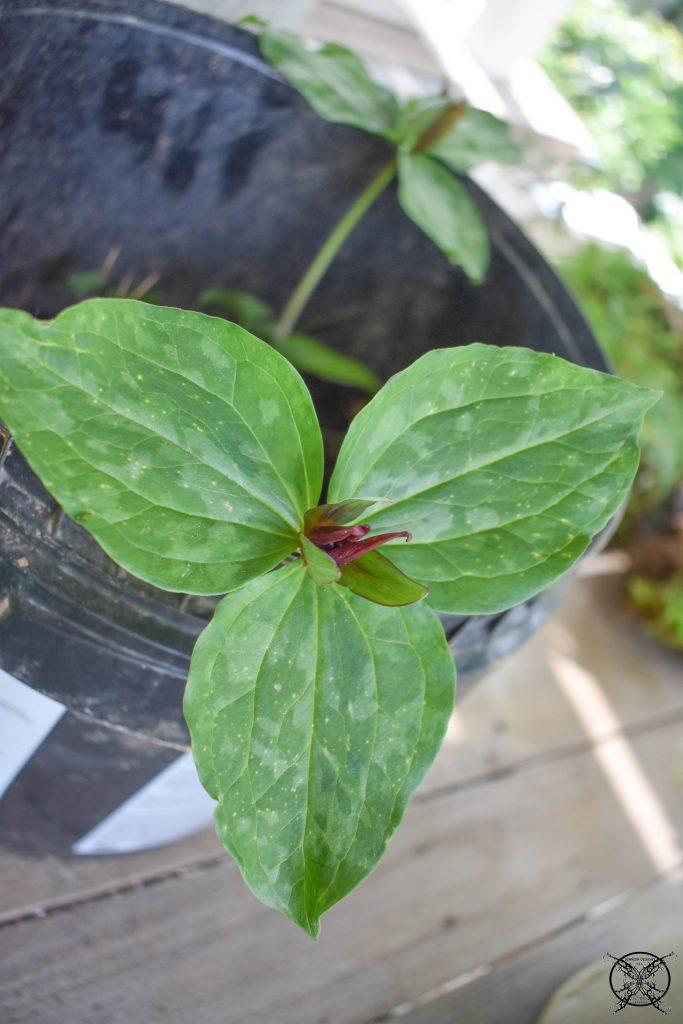 Replanting Red Trillium JENRON DESIGNS