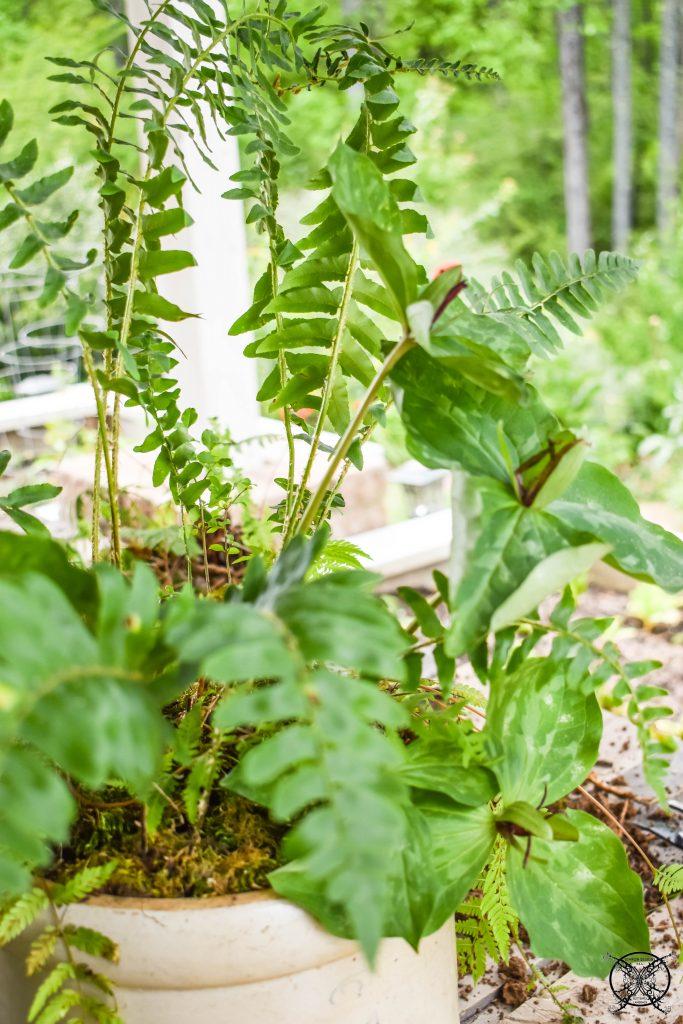 Replanting a Fern Garden JENRON DESIGNS