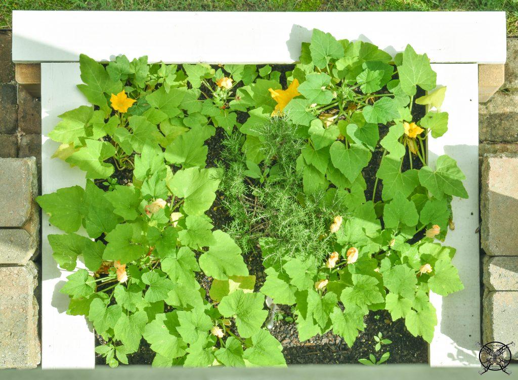 Growing Squash for Casserole Recipe JENRON DESIGNS